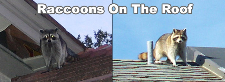 racoons-roof-nor-cal-roofing